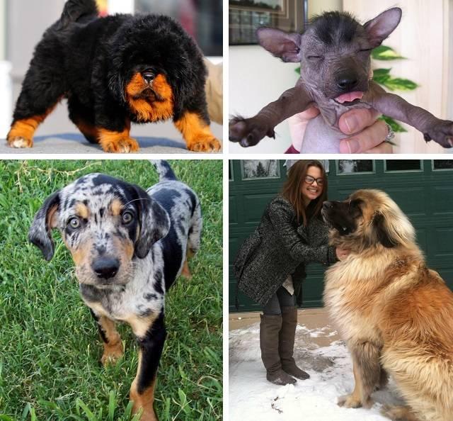Сколько стоит самая дорогая порода собак в мире в 2018 году?