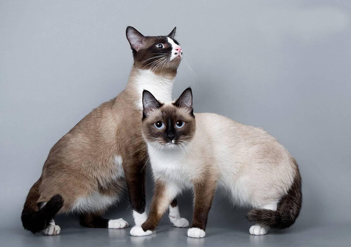 Сноу-шу: описание породы кошек, характер, отзывы (с фото и видео)