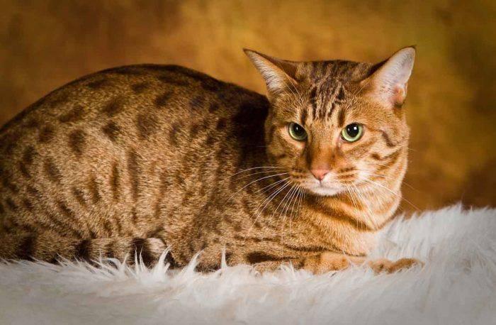 Оцикет кошка. описание, особенности, цена и уход за кошкой оцикет   животный мир