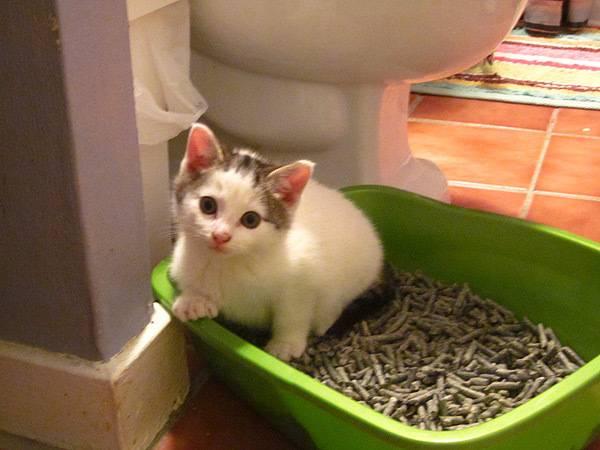 Понос у кошки: способы лечения в домашних условиях