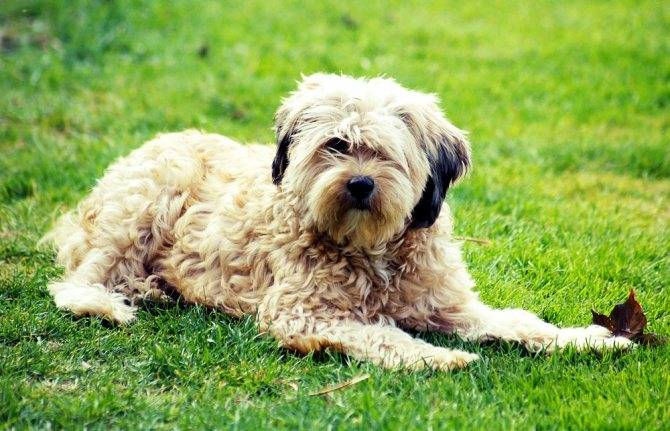Топ-30 гипоаллергенных пород собак