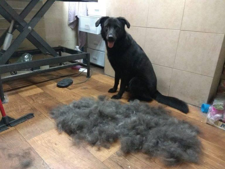 Гладкошерстная собака сильно линяет что делать. почему линяет собака
