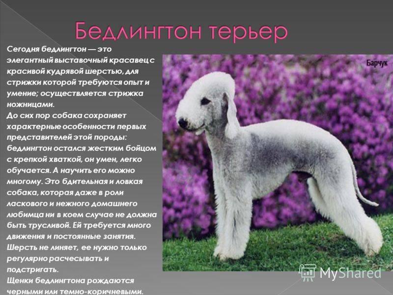 Подробное описание породы собак бедлингтон терьер