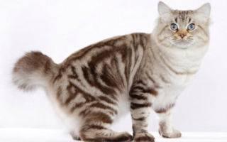 Описание и особенности характера кошек породы американский бобтейл, уход