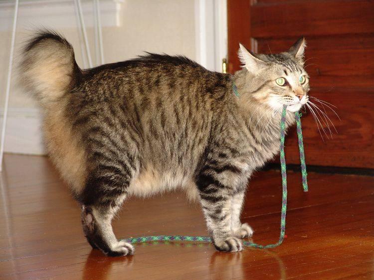 Кошка пиксибоб - фото, описание породы и характера, видео и стоимость котят. - petstime.ru