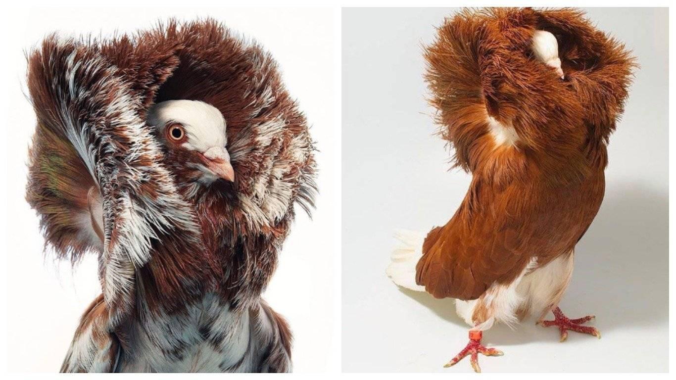 20+ необычных видов голубей, о существовании которых вы не подозревали :: инфониак