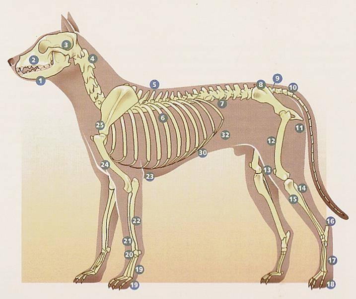 Экскурс в мир собачьей анатомии: «внутреннее устройство» четвероногих друзей