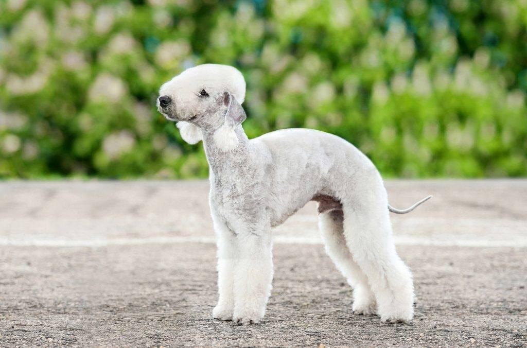 Бедлингтон терьер собака. описание, особенности, уход и цена бедлингтон терьера   животный мир