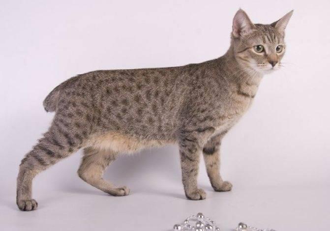 Кошка породы пиксибоб: цены, описание, содержание и характер кошек породы пиксибоб (80 фото)