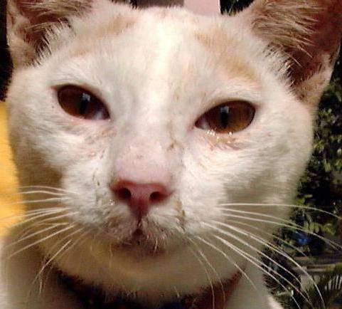 Простуда у кошек: причины появления, симптомы и признаки заболевания