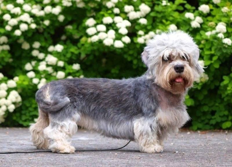 Добрые и жизнерадостные собаки: знакомимся с денди-динмонт-терьером