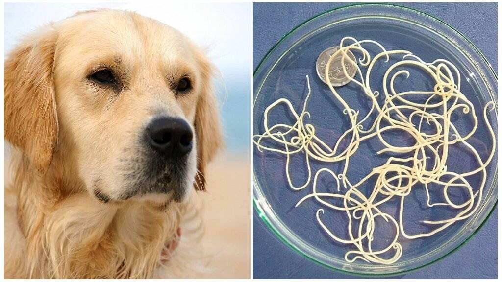 Глисты у собаки: симптомы и лечение | фото, как понять