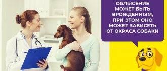 У собаки насморк, чихает и фыркает: чем лечить и что делать?