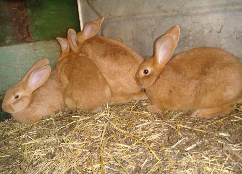 Кролики бургундской породы описание с фото