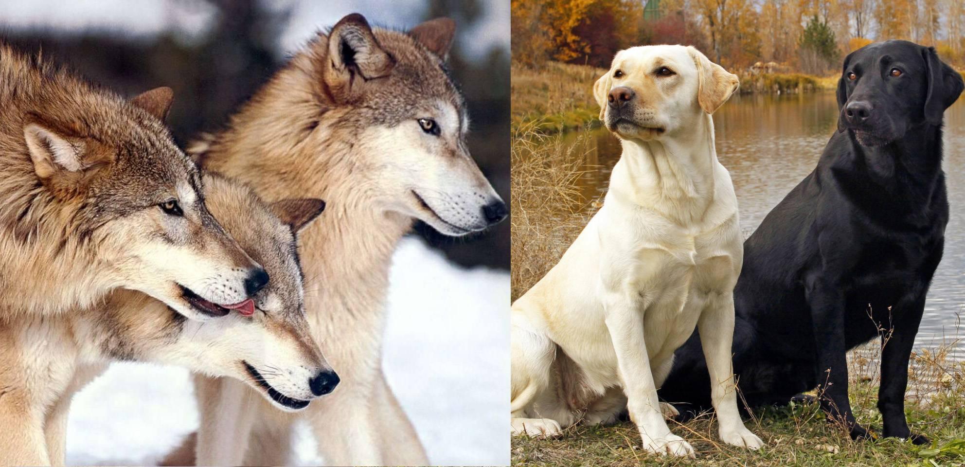 Как отличить волка от собаки | петр и мазепа