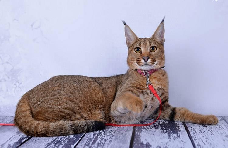 Уникальность кошки каракет
