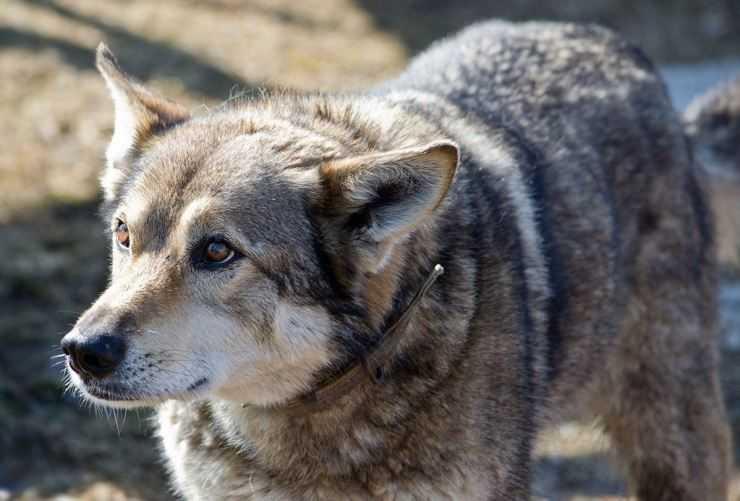 Порода волкособ: история возникновения гибрида, фото собаки-волка и цена