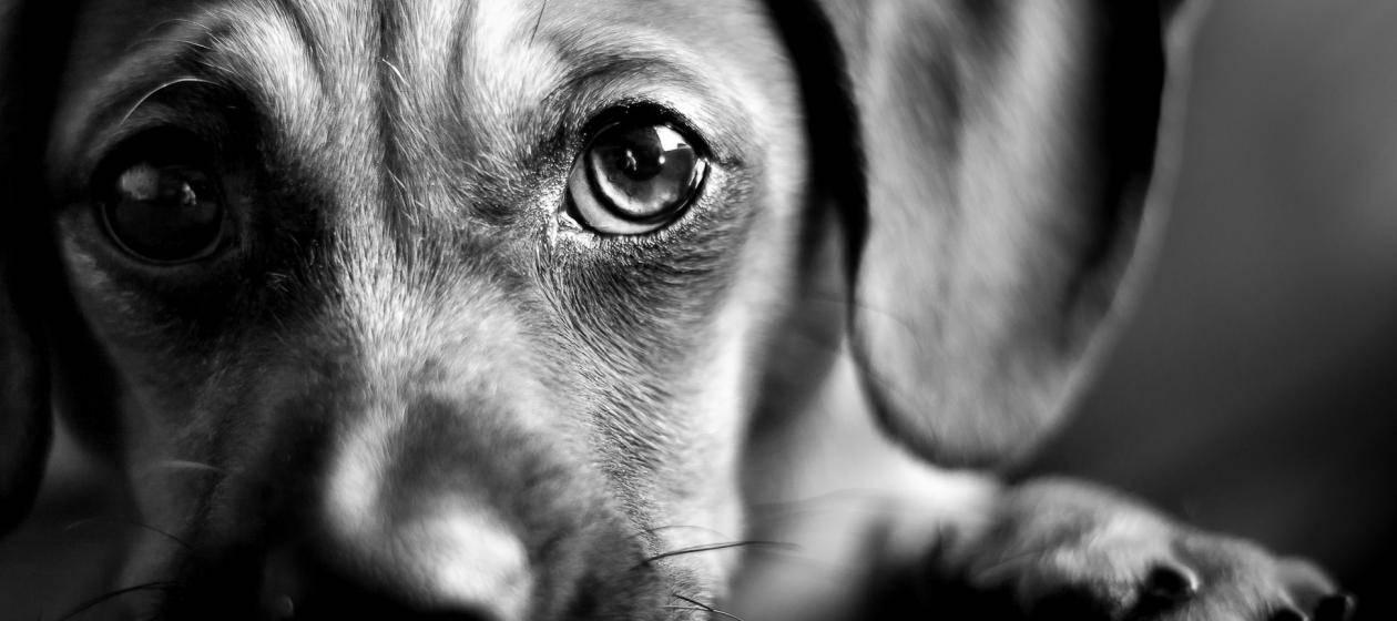 Собака плачет — умеют ли они плакать и как понять ее состояние