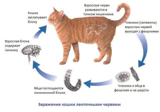 «каниквантел»: как принимать для собак и кошек
