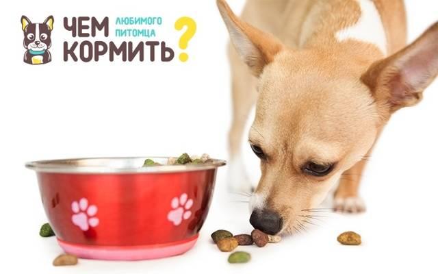 Чем кормить чихуахуа в домашних условиях: разрабатываем рацион