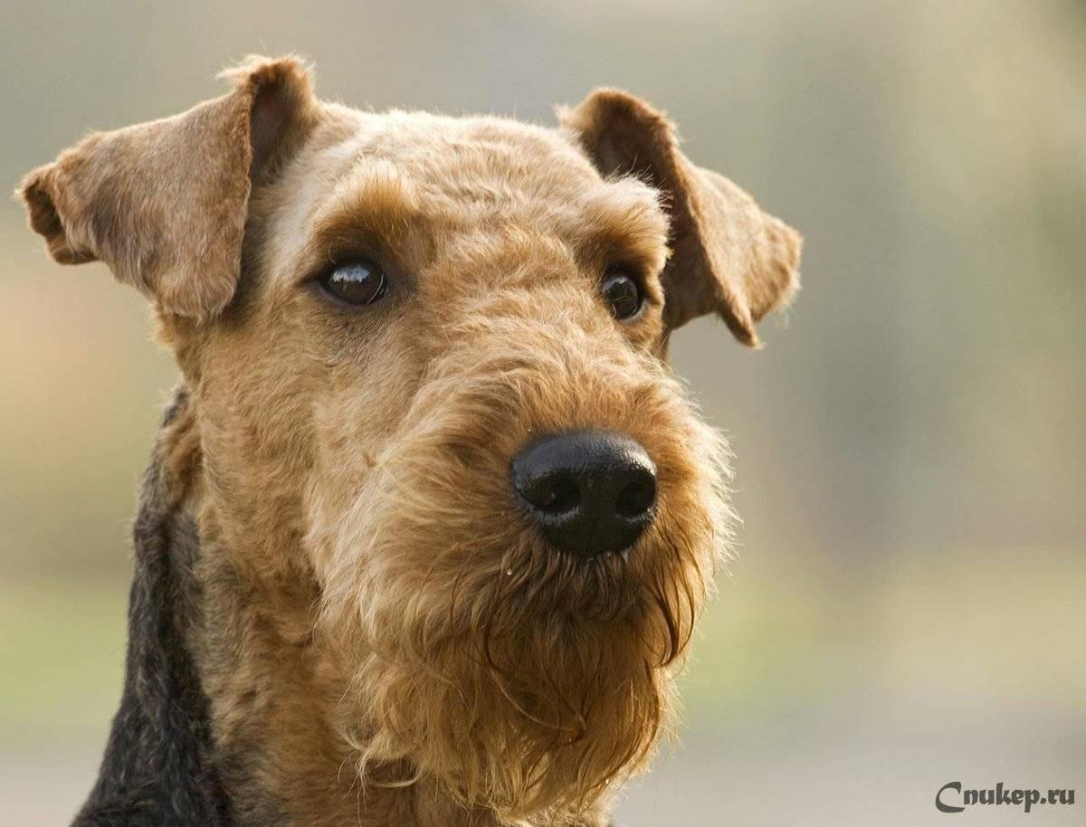 Подробное описание и характер породы собак эрдельтерьер