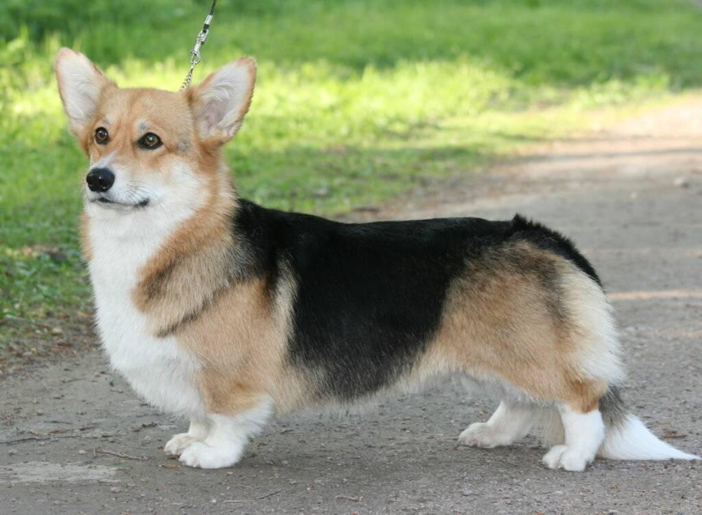 5 лучших пород рыжих собак, похожих на лис