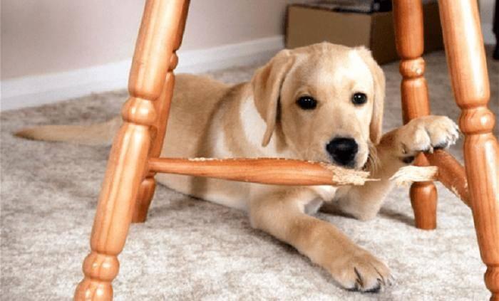 Как отучить собаку лазить на стол – воровать еду, попрошайничать