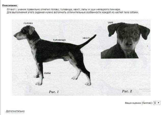 Пинчеры: 5 породы собак, которые входят в группу с описанием и фото.