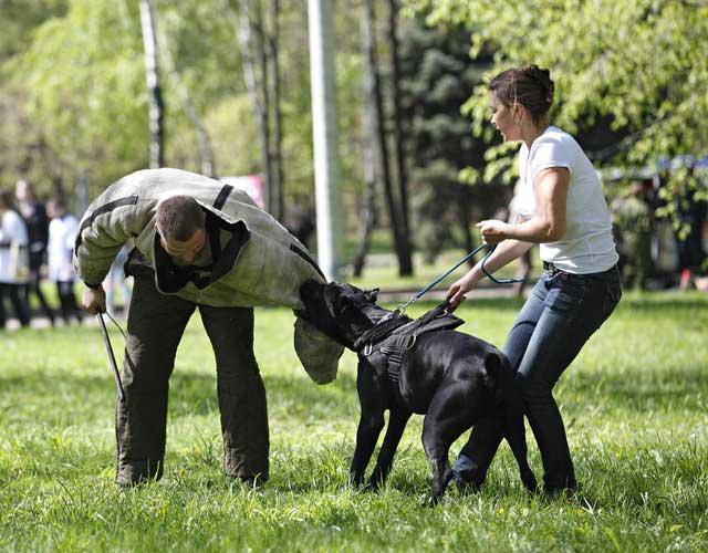 Домашние любимцы кане-корсо: описание породы собак