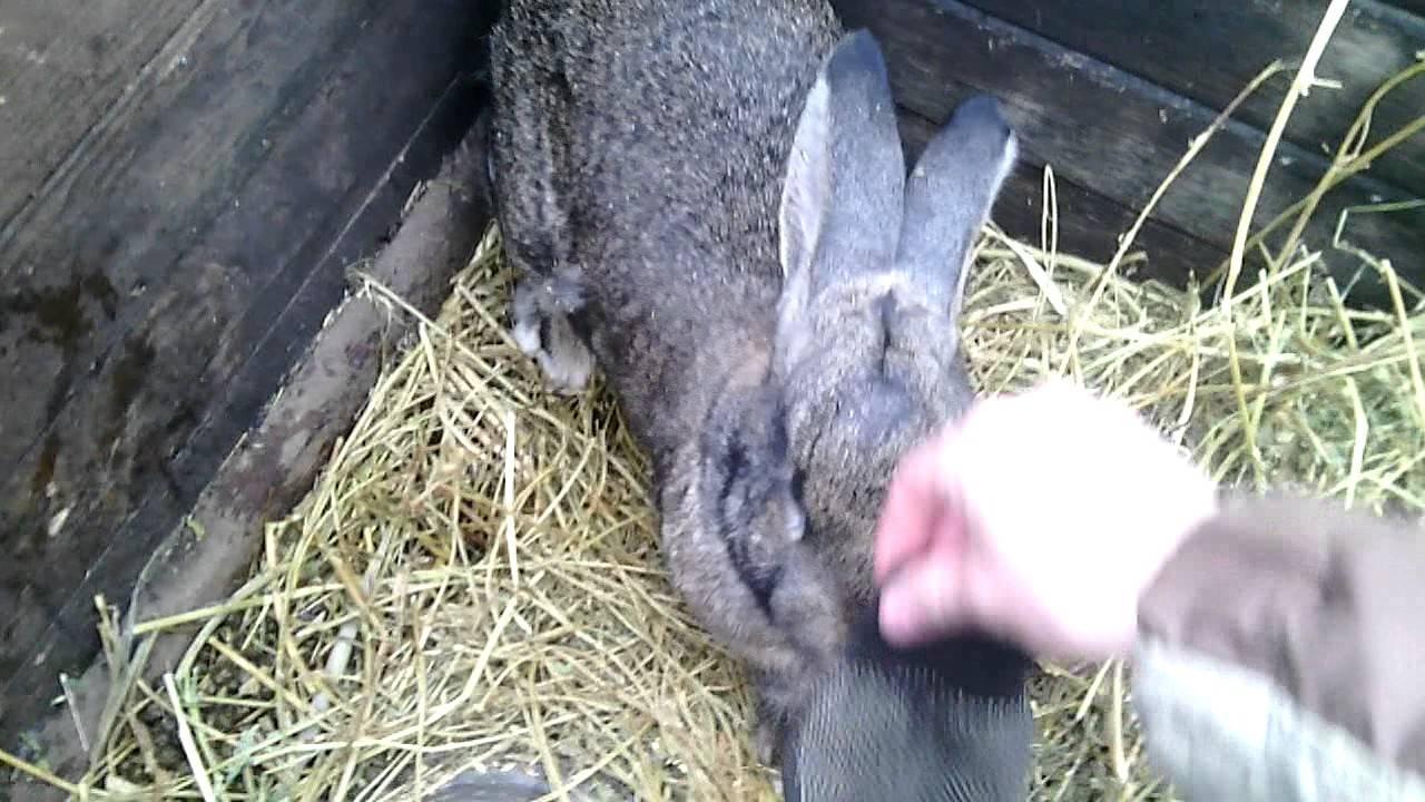 Почему крольчихи не приходят в охоту: методы решения проблемы