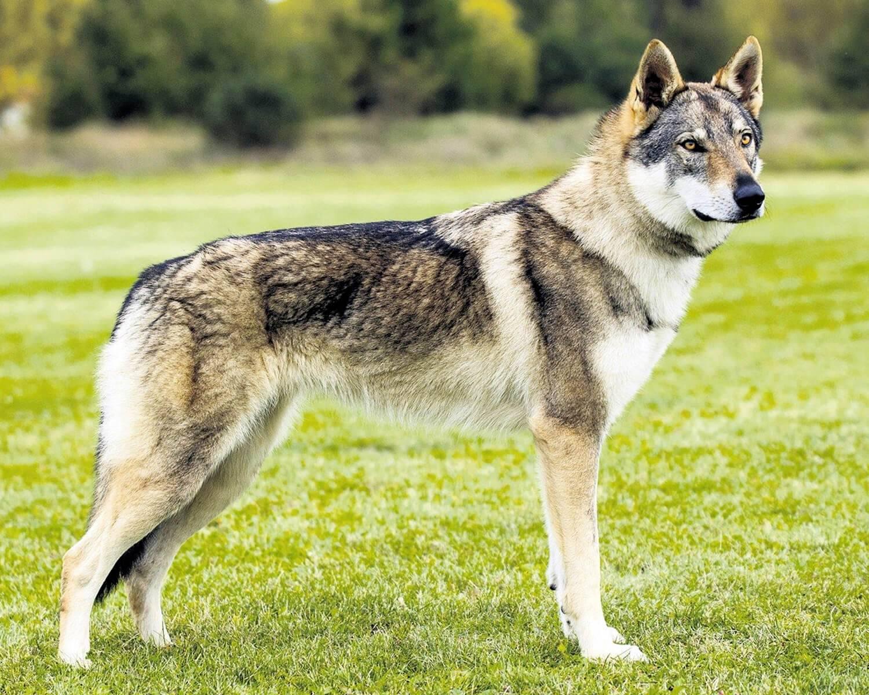 Волчья собака сарлоса - фото, описание породы, характера