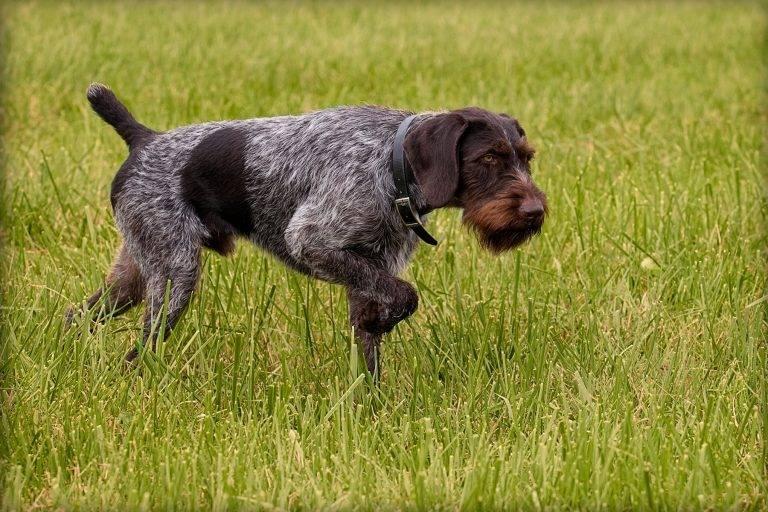 Дратхаар собака. описание, особенности, уход и цена дратхаара   животный мир