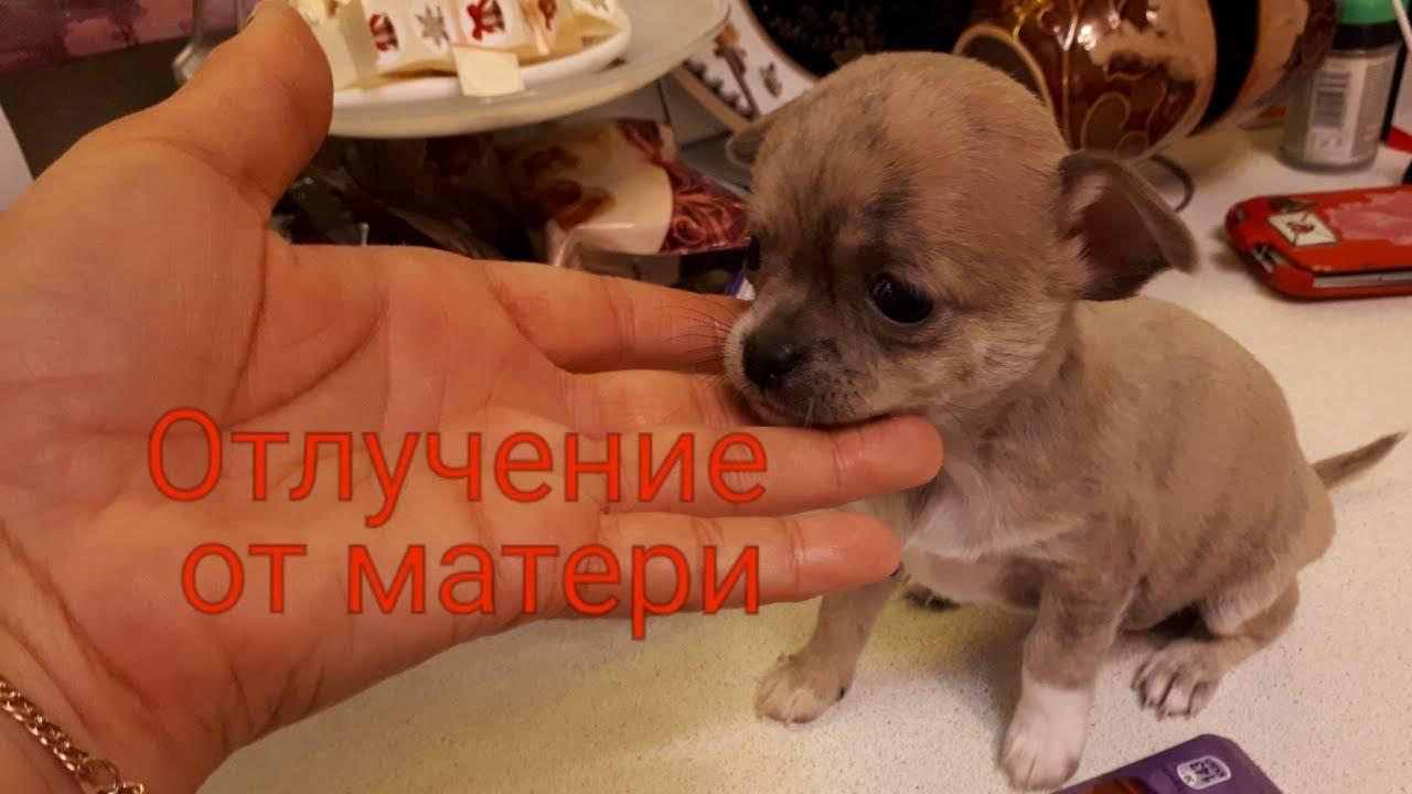 2 способа как выкормить щенка с рождения без матери? что делать, если у новорожденного щенка запор при искусственном вскармливании