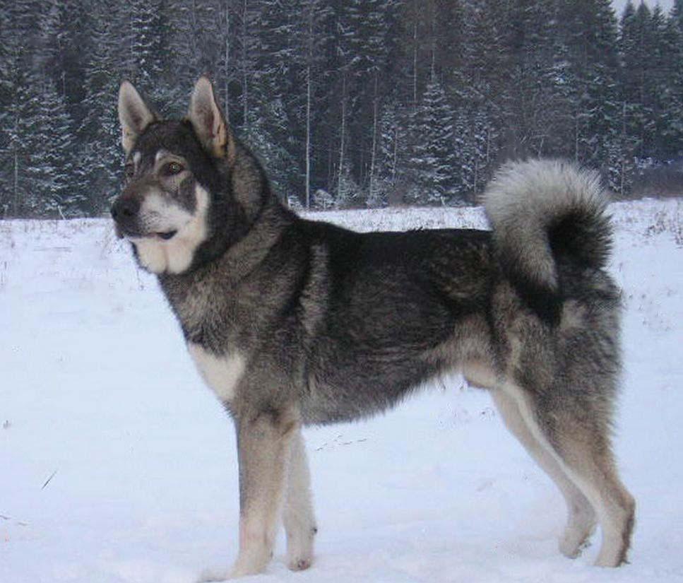 Элкхаунд собака. описание, особенности, уход и цена элкхаунда | животный мир