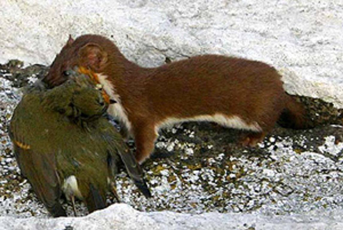 Ласка животное. образ жизни и среда обитания ласки