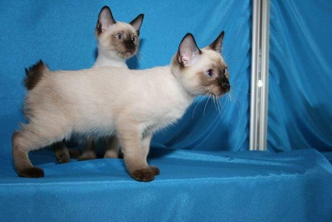 Описание и характерные особенности породы кошек меконгский бобтейл и их сходство с тайским бобтейлом