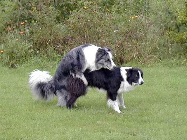 Почему происходит сцепка у собак. собаки слипаются при спаривании, что делать во время склещивания. особенности процесса оплодотворения