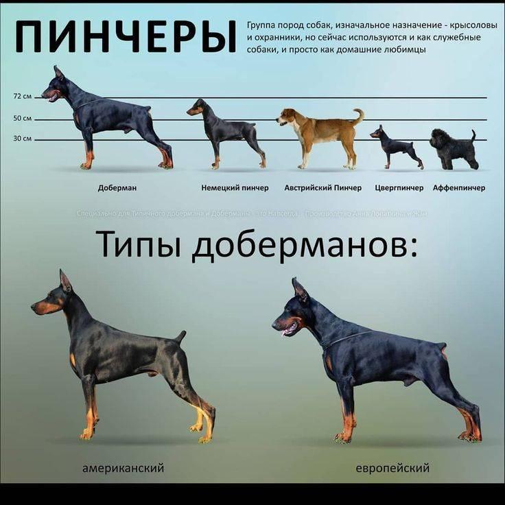Как выбрать щенка немецкой овчарки: как правильно отличить от дворняги и на ком лучше остановить выбор на кобеле или суке