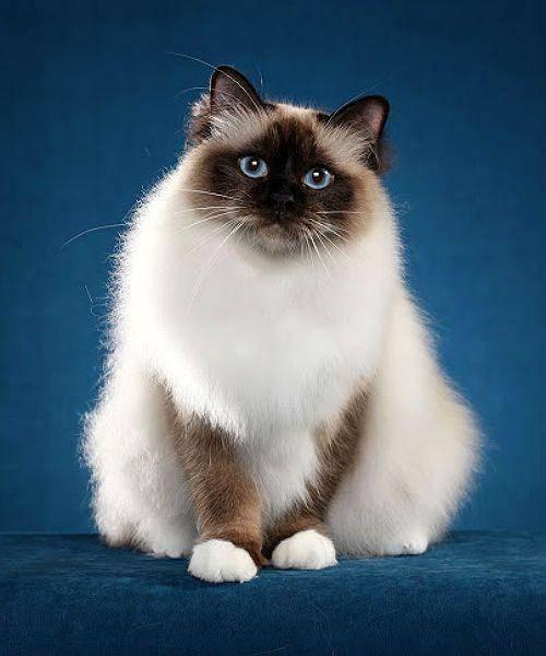 Священная бирма: кошка-хранительница домашнего очага