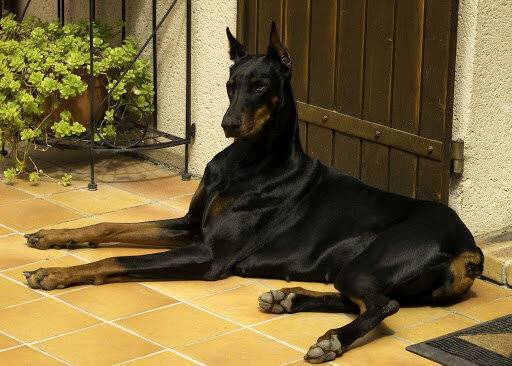 Самые преданные породы собак в мире: какие они умные, любящие хозяина, топ 10