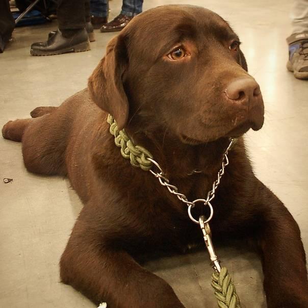 Лабрадор - 78 фото наиболее популярной собачей породы в мире