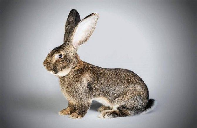 Бельгийский кролик великан: продуктивность и перспективы разведения