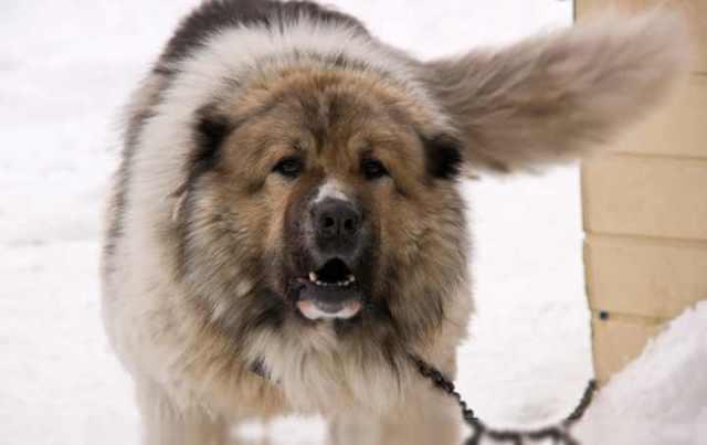 Породы охранных собак: какие лучше