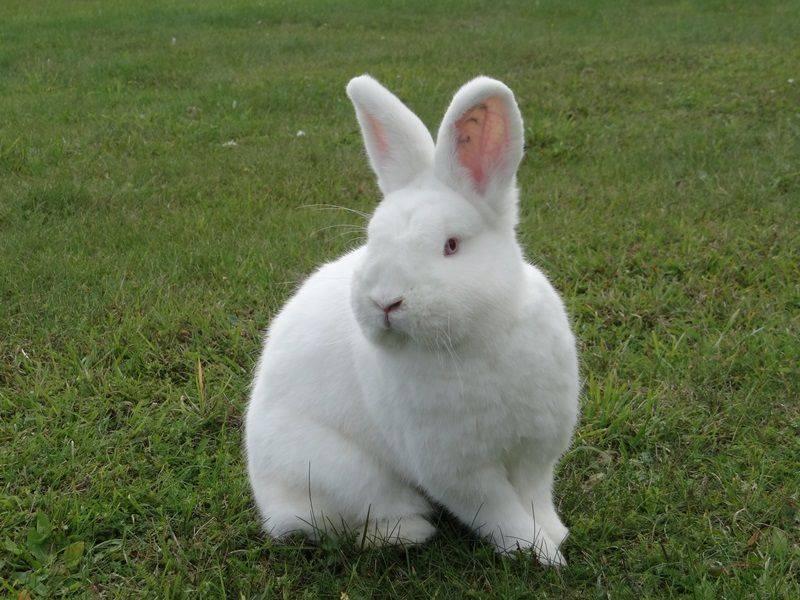 Новозеландский белый кролик: описание, характеристики, отзывы