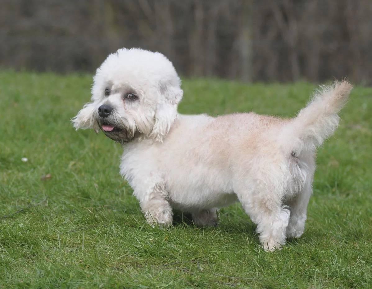 Денди-динмонт-терьер: описание породы - моя собака