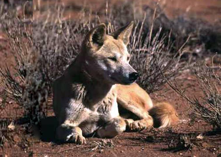 Описание дикой австралийской собаки динго: что это за порода, где обитает и как выглядит?