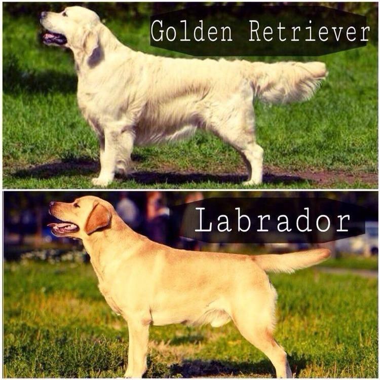 В чем разница между ретривером и лабрадором? 24 фото чем они отличаются внешне? отличия в характере. кого выбрать?