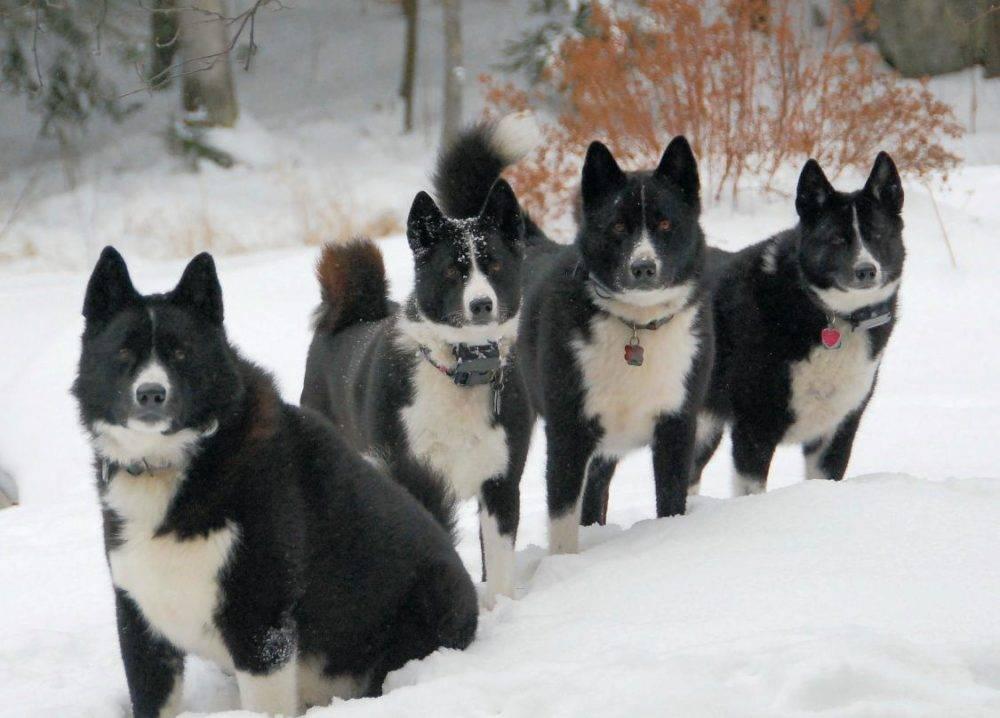 Карело-финская лайка: описание породы - моя собака
