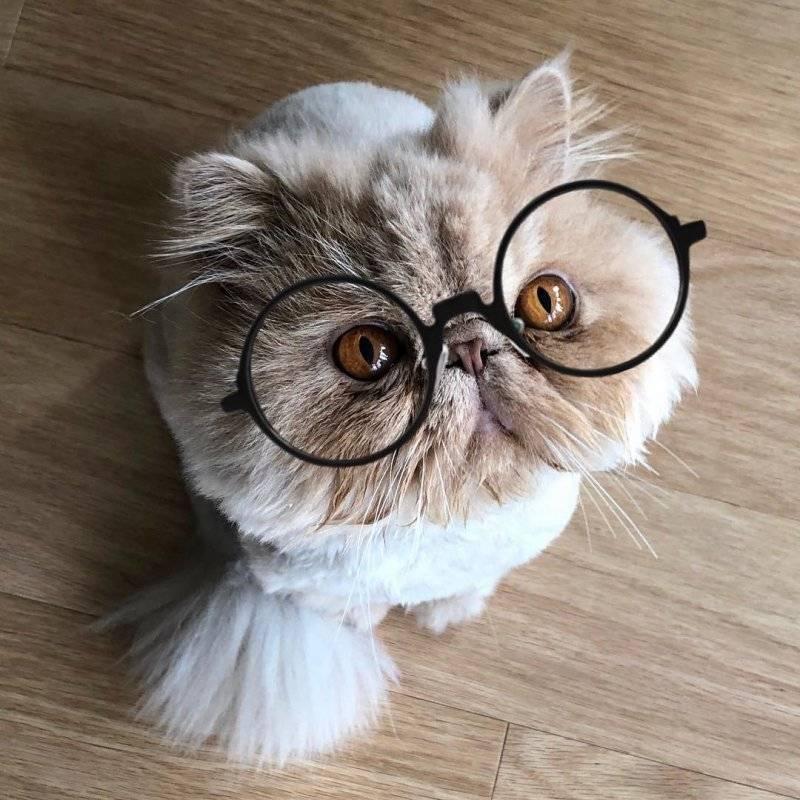 Кошки с приплюснутой мордой: происхождение, породы, содержание и уход.