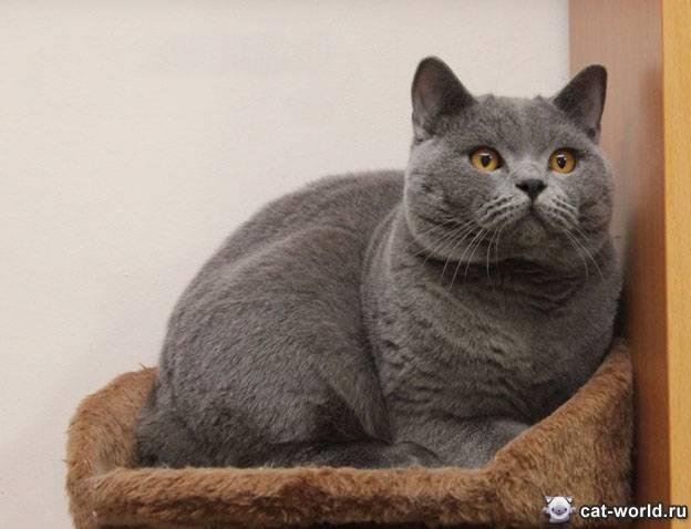 Кремовый британец: стандарты окраса и характер котов